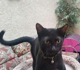 Domestic Shorthair Kitten for adoption in Chino, California - Isabella