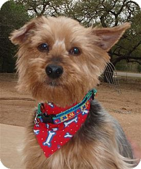 Silky Terrier/Yorkie, Yorkshire Terrier Mix Dog for adoption in San Antonio, Texas - Jacob