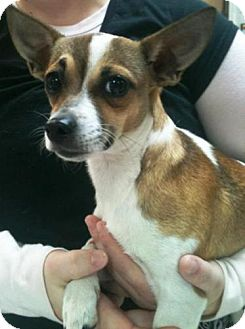 Chihuahua/Feist Mix Dog for adoption in Dover, Tennessee - Lucy