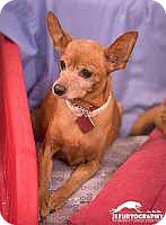 Miniature Pinscher Dog for adoption in Syracuse, New York - Nina