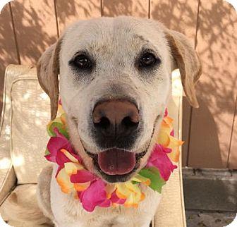 Labrador Retriever Dog for adoption in Canoga Park, California - Logan