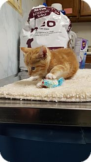 Domestic Shorthair Kitten for adoption in Mine Hill, New Jersey - Arielle