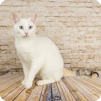 Domestic Shorthair Kitten for adoption in Columbia, Illinois - Pearl