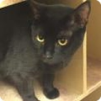 Adopt A Pet :: Midnight - Stafford, VA