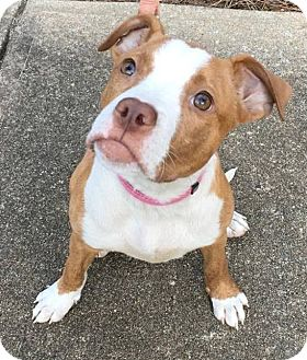 Pit Bull Terrier Puppy for adoption in Lawrenceville, Georgia - Callie