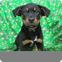 Adopt A Pet :: Holly - Bartonsville, PA