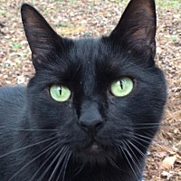 Domestic Shorthair Cat for adoption in Mobile, Alabama - Carter