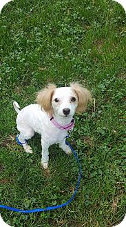 Poodle (Miniature) Mix Dog for adoption in Troy, Michigan - Ryan