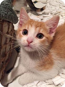 Domestic Shorthair Kitten for adoption in Novato, California - Valentino
