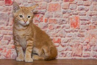 Domestic Shorthair Kitten for adoption in Alpharetta, Georgia - Shepherd
