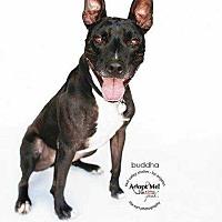 Adopt A Pet :: Buddha - sylmar, CA
