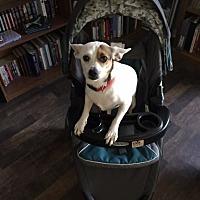 Adopt A Pet :: Spuds - Olympia, WA