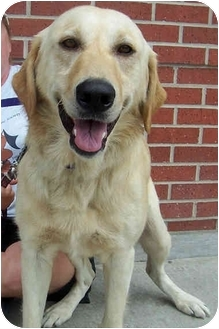 Labrador Retriever Mix Dog for adoption in Overland Park, Kansas - Andy