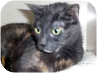 Domestic Shorthair Cat for adoption in Fernandina Beach, Florida - Rita