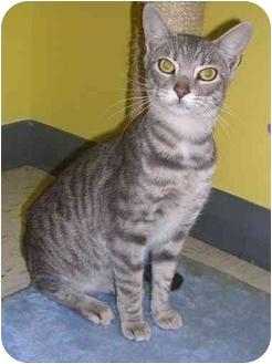 Domestic Shorthair Cat for adoption in HARRISONVILLE, Missouri - Gulliver