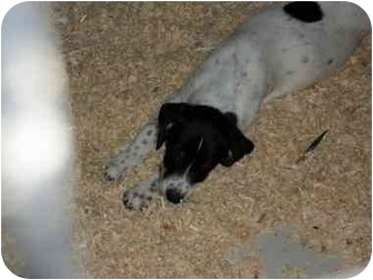 Beagle Mix Puppy for adoption in Rochester, New Hampshire - Domino Adopted
