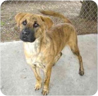 Shepherd (Unknown Type) Mix Dog for adoption in Greenville, North Carolina - London