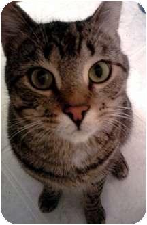 Domestic Shorthair Cat for adoption in Merrifield, Virginia - Tuna