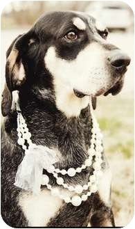 Black and Tan Coonhound/Bluetick Coonhound Mix Dog for adoption in Chicago, Illinois - Penny(ADOPTED!)