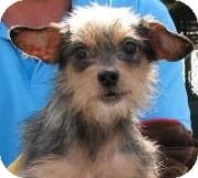 Yorkie, Yorkshire Terrier/Pomeranian Mix Dog for adoption in Umatilla, Florida - Chloe