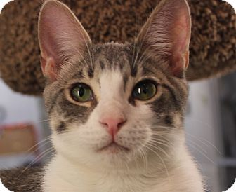 Domestic Shorthair Kitten for adoption in Winchester, California - Crescendo