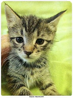 Domestic Shorthair Kitten for adoption in Brooklyn, New York - Beamish