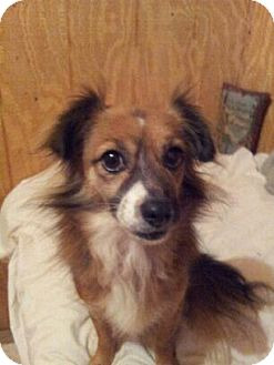 Tibetan Spaniel Mix Dog for adoption in Rye Brook, New York - Roxy