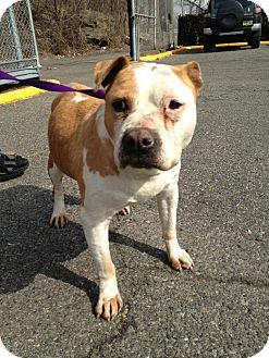 Pit Bull Terrier/English Bulldog Mix Dog for adoption in Oak Ridge, New Jersey - Toffee-SWEET MELLOW SENIOR