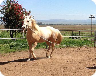 Quarterhorse Mix for adoption in Wheatland, California - Buttercup