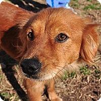 Adopt A Pet :: Flirty - New Canaan, CT