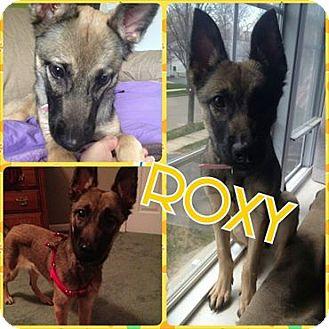 German Shepherd Dog Puppy for adoption in bridgeport, Connecticut - Roxy
