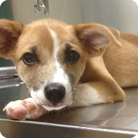 Adopt A Pet :: Ginger-adoption in progress - Marshfield, MA