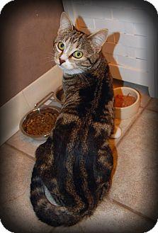 American Shorthair Cat for adoption in Sherman Oaks, California - Tulip