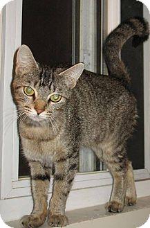 Domestic Shorthair Cat for adoption in Randolph, Vermont - Margot