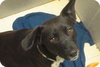 Welsh Corgi Mix Dog for adoption in Philadelphia, Pennsylvania - Pete