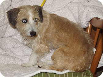 Dachshund/Terrier (Unknown Type, Small) Mix Dog for adoption in Marshall, Texas - Ruby Sue