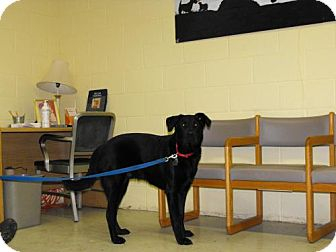 Labrador Retriever Dog for adoption in Napoleon, Ohio - Jake