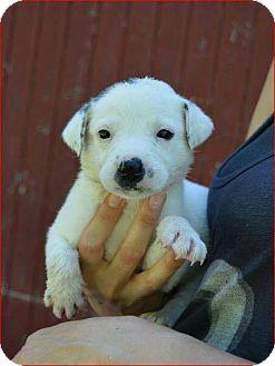 Border Collie Mix Puppy for adoption in Allen, Texas - Callie