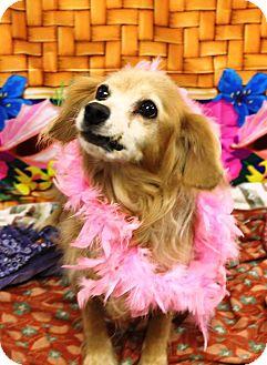 Cocker Spaniel Mix Dog for adoption in Sugar Grove, Illinois - Goldie