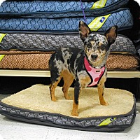 Adopt A Pet :: Bella - Weatherford, TX