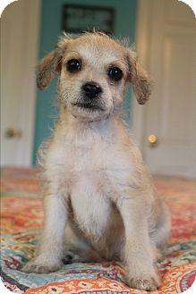 Shih Tzu/Beagle Mix Puppy for adoption in Staunton, Virginia - Bunny