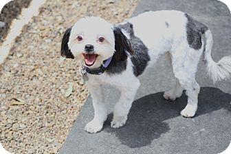 Shih Tzu Mix Dog for adoption in Woonsocket, Rhode Island - Paisley