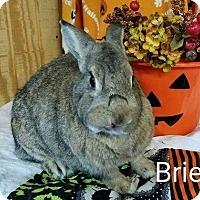 Adopt A Pet :: Brie - Williston, FL
