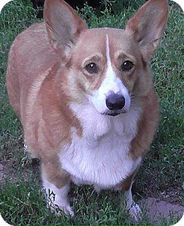 Corgi Dog for adoption in Astoria, New York - Didi