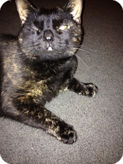 Domestic Shorthair Cat for adoption in Columbia, Maryland - Luna_Courtesy Post
