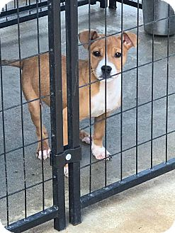 Boxer Mix Puppy for adoption in Pikeville, Maryland - Piper