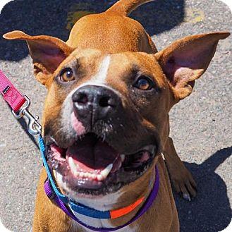 Boxer/Labrador Retriever Mix Dog for adoption in Denver, Colorado - Rockwell