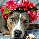 Adopt A Pet :: Savannah - Denton, TX