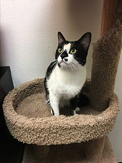 Domestic Shorthair Cat for adoption in Foothill Ranch, California - Willy