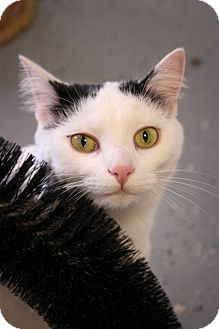 Domestic Shorthair Cat for adoption in Martinsville, Indiana - Janie